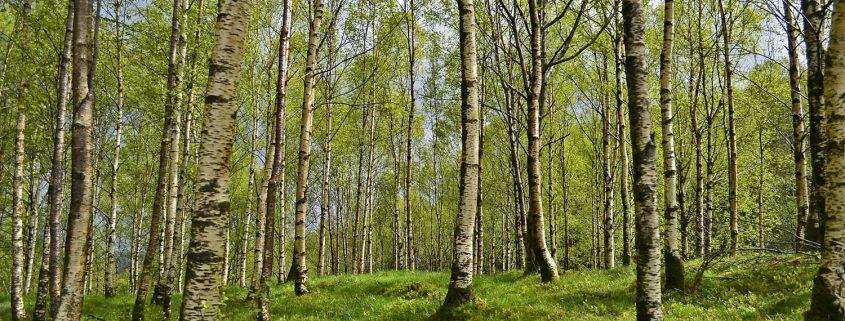 Insbesondere Birkenpollen machen Heuschnupfengeplagten im Frühjahr oft ganz besonders zu schaffen